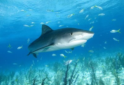 a possible sighting of a tiger shark in the Med?