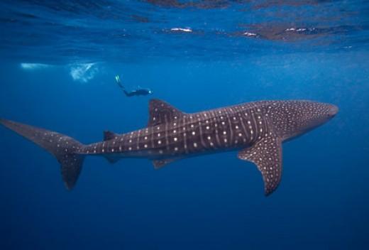 largest whale shark - photo #21