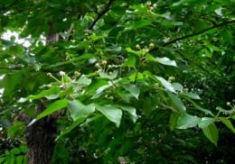 Camptothecin comes from the Happy Tree, Camptotheca acuminita