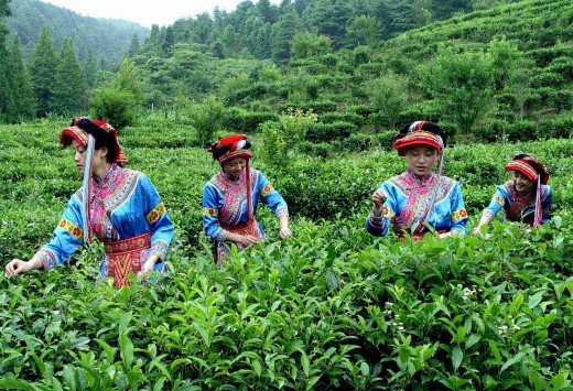 Yunnan minor group girls are picking up tea leaves.
