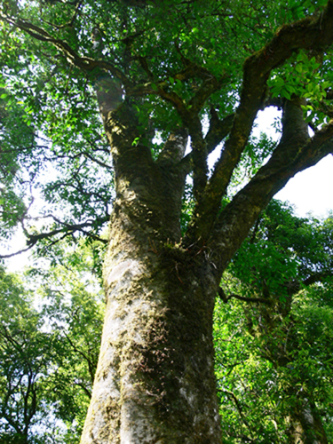 """The King of Tea Trees"""