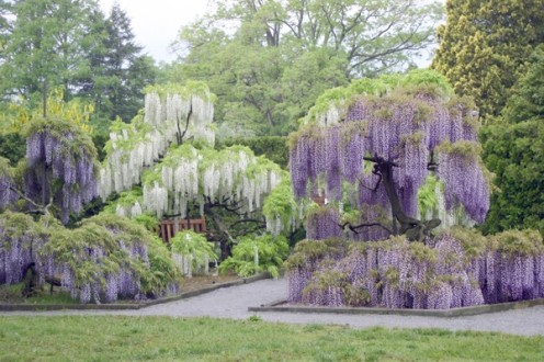 Wisteria flowers in white and purple.