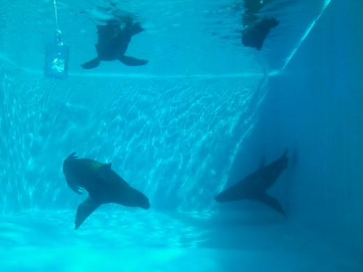Sea lions under water