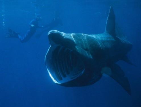 The Megamouth shark filter feeding