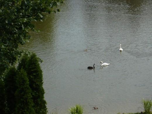 Black Austrailian Swan