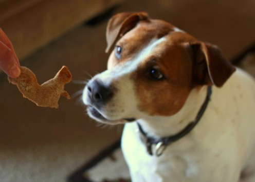 Dog eying a squirrel-shaped biscuit