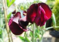 The Beautiful and Fragrant Sweet Pea