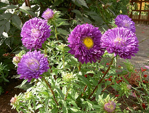 The Aster