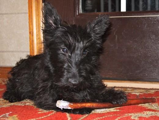 "Scottie Puppy enjoying a 12"" bully stick"