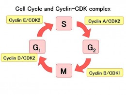 Cell Cycle and Cyclin-Dependent Kinase (CDK) complexes for control. S=Synthesis, G= Growth, M=Mitosis. Source: Public Domain, wikimedia commons.