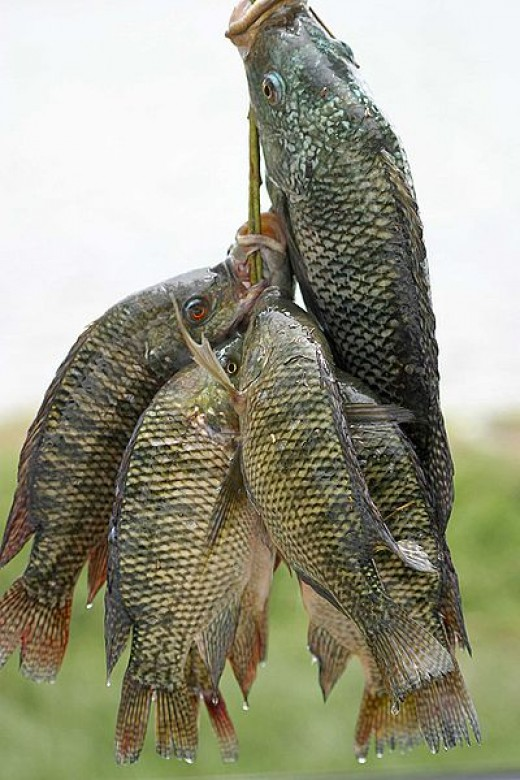 Tilapia from Ethiopia. This is the way of the future but avoid fish from China and Latin America