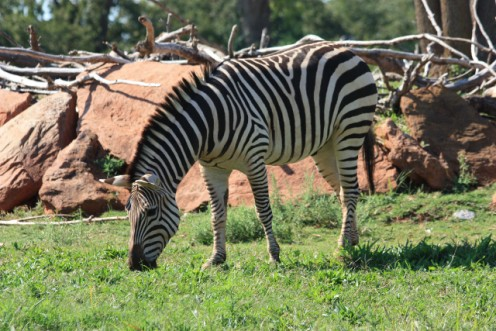"""Zebra with """"junk"""" in the background."""