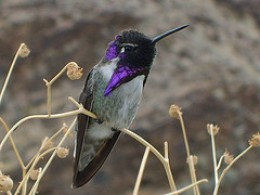Black Chinned Hummer perched on branch