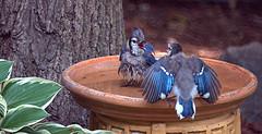 blue jays in bird bath