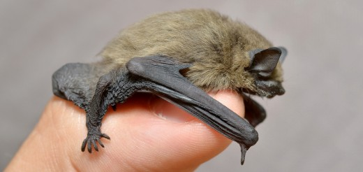 In case you were wondering why they're called microbats.