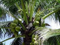 Philippine Legend: The Legend Of Coconut