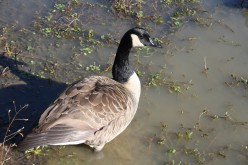 Picture Slide Show of Canadian Goose