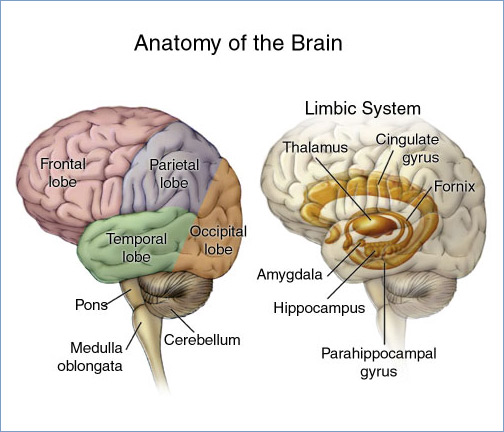 A stroke can occur in several areas of the brain.