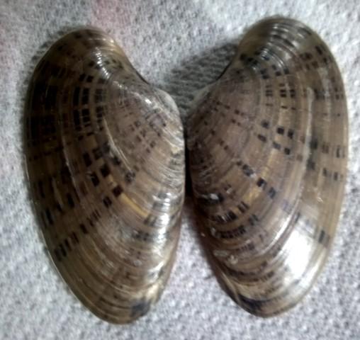 Macrocallista nimbosa