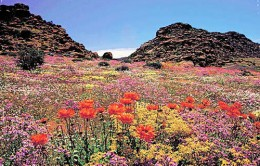 The seasonal symphony of colorful wild flowers in the Karoo desert of South Africa.