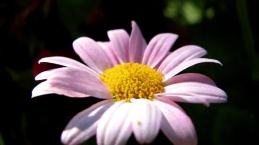 Pink daisy, Melbourne, Australia.