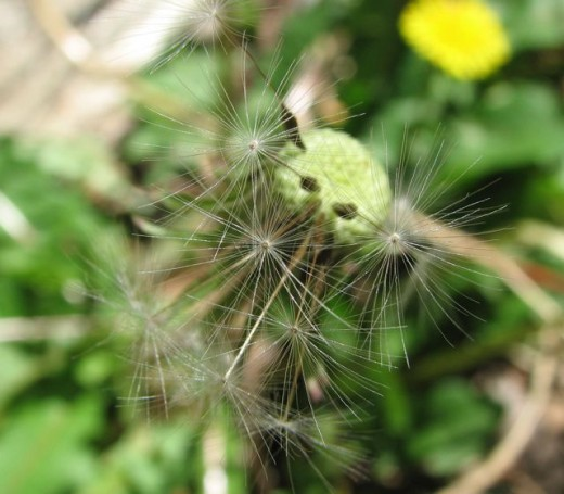 Dandelion seeds still attached, Melbourne, Australia.