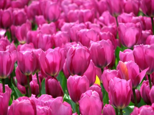 A field of tulips in the Tasmanian Botanical Gardens.