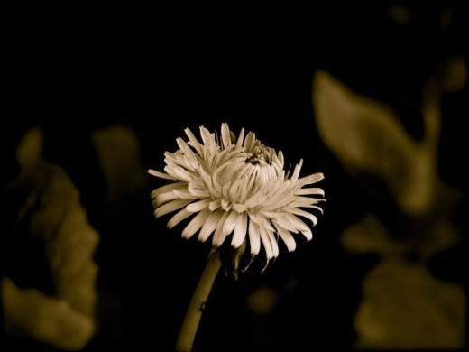 Sepia weed, Melbourne, Australia.