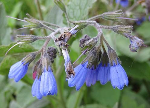 Blue Comfrey