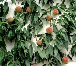 How to Espalier Apple Trees, Tips for Pruning, Multi-Grafting, Dwarfing Fruit Trees