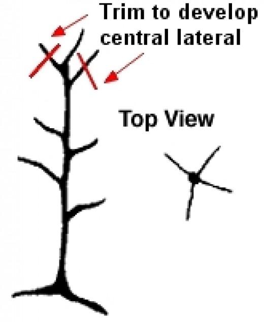 Central Leader - Trim side branches