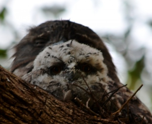 Baby Tawny Frogmouth with it's Mum.