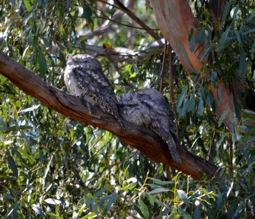 Family of Tawny Frogmouths enjoying the sun.