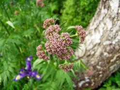 Valerian Root - Facts and Information on this Interesting Herb