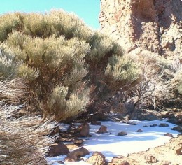 White Teide Broom and snow. Photo by Steve Andrews