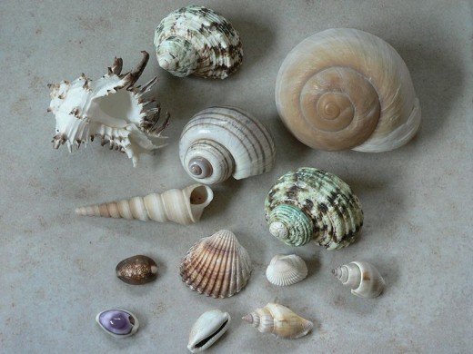 Several types and varieties of shells found on Sanibel Island, Florida.