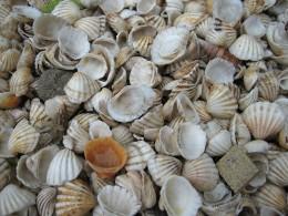 Sanibel coquina shells and scallop shells.