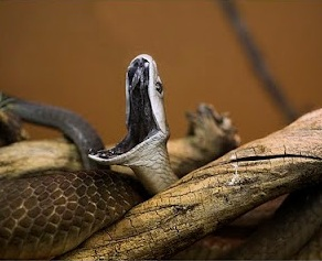 Black Mamba showing the inside of her mouth.