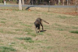 Zena at full speed 'measuring' my 2.5 acre front yard! Imagine her in a 10x10 kennel!