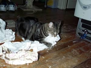Tabby eating tissue paper