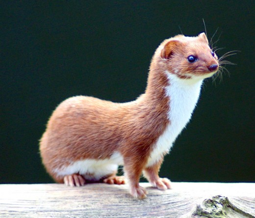 Though weaseling out of something has such negative connotations, aren't weasels cute?