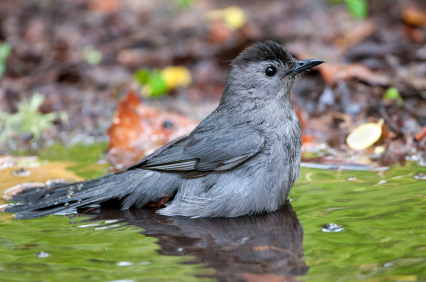 Catbirds are fond of taking many baths!  This one found a puddle after a summer rain shower.