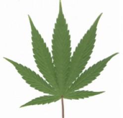How Marijuana May Affect You In The Long Run