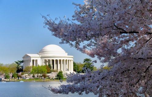 Cherry Blossoms frame the Jefferson Memorial, Washington DC