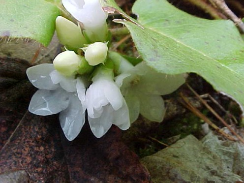 Trailing Arbutus -- This evergreen shrub is often called Mayflower or May Pink. It is also known as gravel-plant on account of certain curative powers it is said to possess.