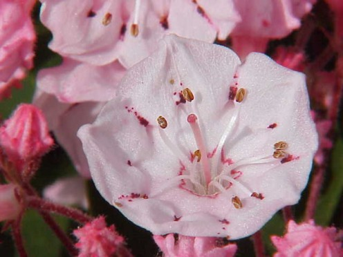 Mountain Laurel is one of the handsomest of American evergreen shrubs.  Its flowers, which shade from white to a beautiful pink, generally bloom in June.
