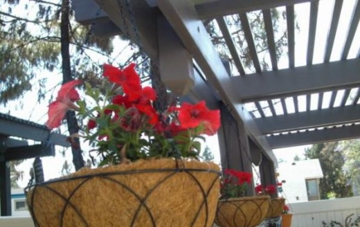 Red petunias on hanging baskets to help attract the hummers on our patio.