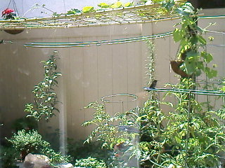 Hummers resting one Summer day. One is on the plant support ring. Can you spot the other one?