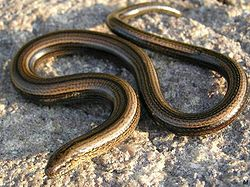 The Slow-worm