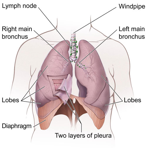 Normal Anatomy of Lungs and airways